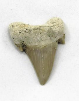 Žraločí zub